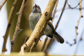 gry-backed camaroptera, bleatinf warbler, camaroptère a dos gris, camaroptera de lomo gris
