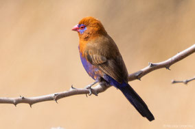 purple grenadier, cordonbleu violacé, granadero oriental, birds of Kenya, wildlife of Kenya, Nicolas Urlacher