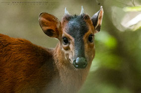 harvey's duiker, Harvey-Rotducker, Cephalophus harveyi, céphalophe de Harvey