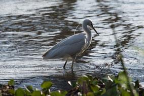 little egret,  aigrette garzette, garceta comun, Nicolas Urlacher, wildlife of Kenya, waders, water birds, birds of kenya, birds of africa