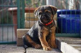 Border Terrier Welpe Pixel
