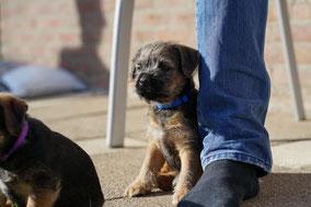 Border Terrier Welpe Camaro