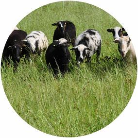 Krainer Steinschafe Herde Weide