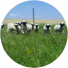 Walliser Schwarznasen Schafe Herde Weide Blumenwiese