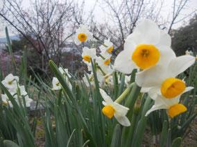 梅の傍らで咲く水仙。あぁ良い香り・・。こういった香りを感じると、春の訪れをすぐ近くに感じます。