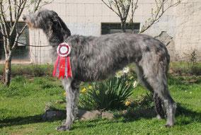 Vielversprechende Deerhound Verpaarung! Eifel Deerhounds/Rheinland-Pfalz bei Luxemburg/Schweiz/Belgien!