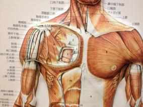これらの筋肉は、手の左右のバランスで機能が変わってきます。