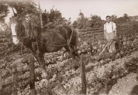 Il y avait de la vigne que le grand-père a tout arrachée pour planter un verger de pommes et poires
