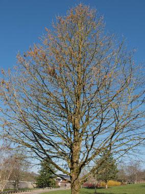 Baumhasel Baum