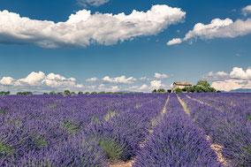 Champ de Lavande en Provence - Valensole