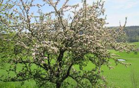 WT Richtheim: So schön kann ein Apfelbaum sein