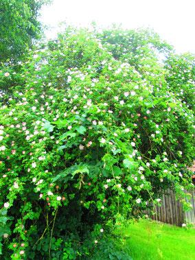 oder tolle Blütenpracht (Krickelsdorf) und