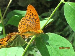 WT See: Schmetterlinge bei der Paarung