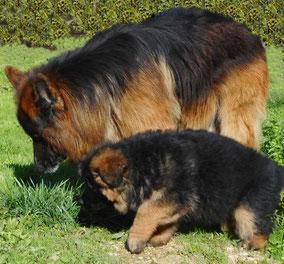 Un berger allemand adulte noir et feu poils longs et un chiot berger allemand sente l'herbe par coach canin 16 educateur canin