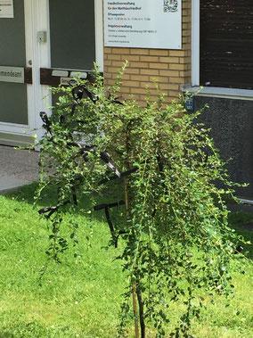 Die Trauerweide  wurde auf der Wiese vor dem Gemeindeamt als Erinnerung an die vergangene Zeit gepflanzt.
