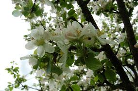 Apfelblüte (Goldparmäne) im Frühjahr