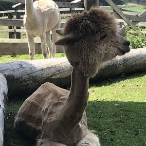 toll Tier Alpaka Alpakas Alpakawanderung Vlies Wolle Scheren flauschig Kulleraugen