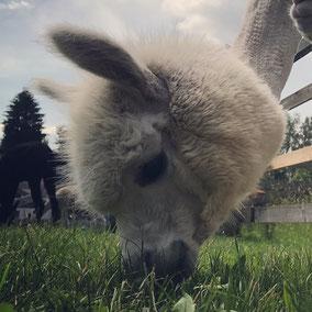 toll Tier Alpaka Alpakas Alpakawanderung Vlies Wolle Scheren flauschig Kulleraugen, weiß, muc
