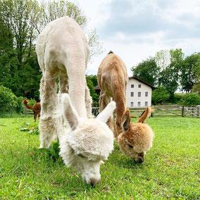 toll Tier Alpaka Alpakas Alpakawanderung Vlies Wolle Scheren flauschig Kulleraugen, Fohlen, Crias, baby, Alpakafohlen, Stute