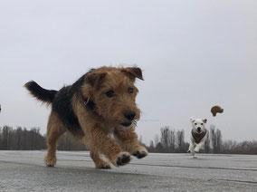 Die Berliner teamdogs Joshi und Elsie im Training