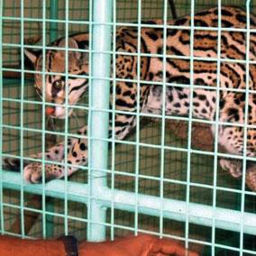 Illeagl pet trade. criminal. destructive. conservation. Trinidad.