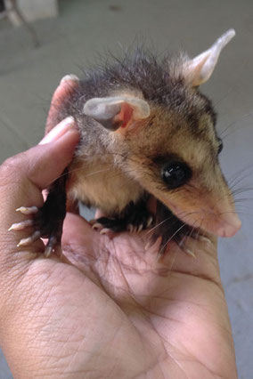 Opossum baby. Marsupial. Wildlife protection. Orphaned animals.