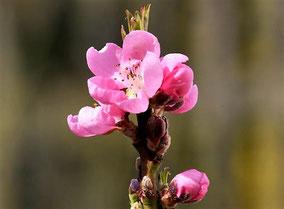 Zwerg-Nektarine (Prunus nuciperisca)