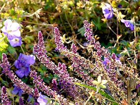 Salbei (Salvia nemorosa 'Ostfriesland' mit Geranium wallichianum 'Jolly Bee')