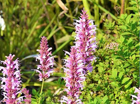 Duftnessel (Agastache mexicana 'Red Fortune')