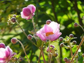 Herbstanemone (A. japonica 'Rosenschale').