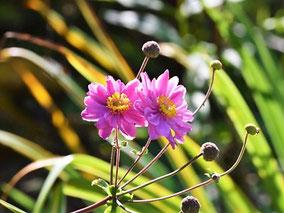 Herbstanemone (Anemone japonica 'Pamina')