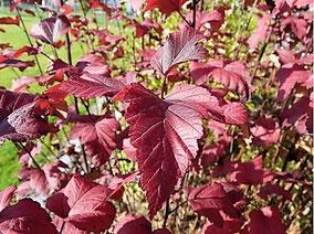 Blasenspiere (Physocarpus opulifolius 'Diabolo') mit tief burgunderfarbenem Laub