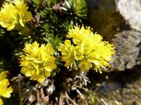 Vorfrühlings-Steinbrech (Saxifraga × apiculata)