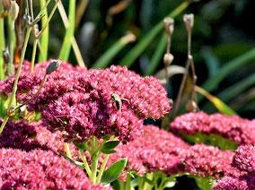Sedum telephium 'Herbstfreude' ist ein wahrer Bienenmagnet.