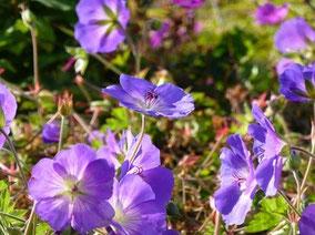 Bis zum Frost blüht unermüdlich  der Storchschnabel (G. wallichianum 'Jolly Bee')