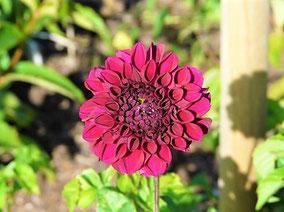 Eine burgunderfarbene Dahlie (Sorte unbekannt)