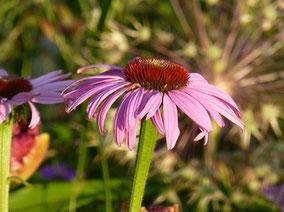 Sonnenhut (Echinacea purpurea)