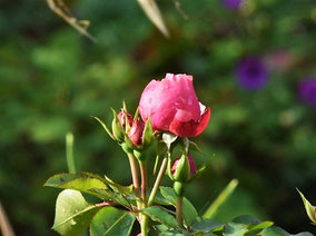 Rosa 'Leonardo da Vinci' schiebt selbst im Oktober noch Knospen.