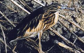 El gomet es un ave de las espècies raras que viven en la marjal de Pego y Oliva en la Comunidad Valenciana.
