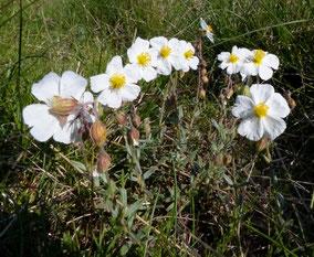 Fleurs Blanches Club Pedestre Chabeuillois