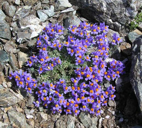 Fleurs Bleues Club Pedestre Chabeuillois