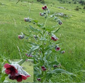 Fleurs rouges club p destre chabeuillois - Petites fleurs roses vivaces ...