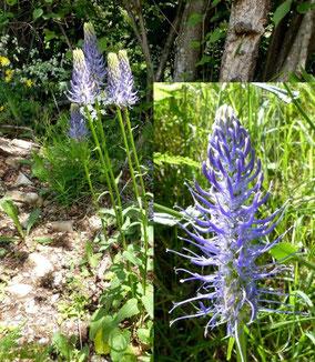 fleurs bleues - club pédestre chabeuillois