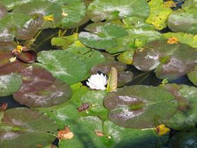 Bild: Teich mit Seerose und Frosch
