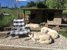 Wie war das? Husky`s lieben Sonne und Wärme nicht? Ice, Blizzard und Yukon beim Sonnenbaden!