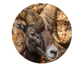 Edelstenen en aromatherapie voor de Ram