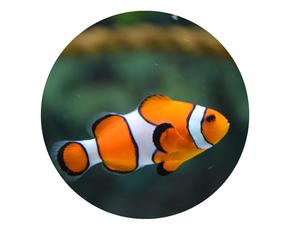 Edelstenen en etherische olie voor het sterrenbeeld vissen