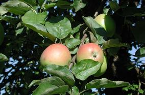 Apfel Sortenerhalter alte Obstsorten biologisch regional umweltfreundlich umweltverträglich Hausgarten Gemüsekiste Chili Paprika Tomaten Paradeiser