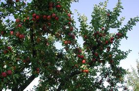 Apfel alte Apfelsorte alte Obstraritäten biologisch regional nachhaltig umweltfreundlich umweltverträglich Hausgarten Sortenerhalter Gemüse Gemüsekiste roter Apfel ökologischer Pflanzenschutz