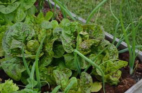 Salat Forellenschluß Forellenschuss biologisch regional nachthaltig umweltfreundlich umweltverträglich bio Sortenerhalter Hausgarten Jungpflanzen Sortenraritäten Raritäten Gemüsekiste Abhof Verkauf